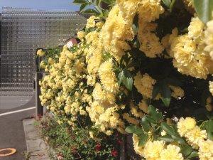 実家の花1904281