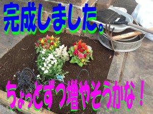 花壇に新しい花190506