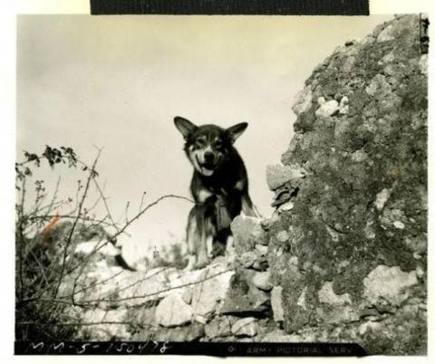 第二次世界大戦で活躍した犬11