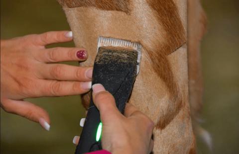 馬の毛を刈り込んで模様を描く02