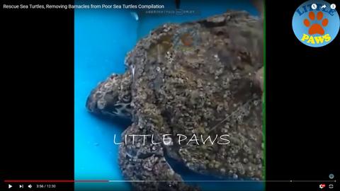 海ガメのフジツボを除去03
