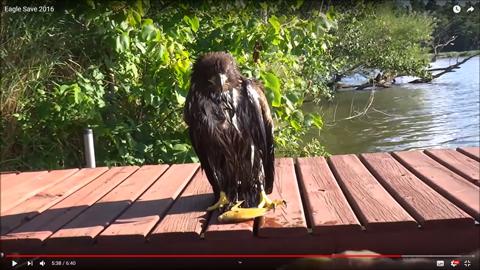 湿地で溺れたワシを救出03