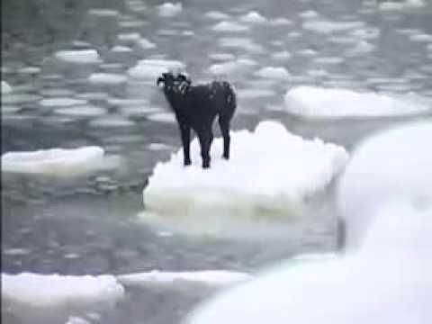 小さな!流氷に取り残された犬が救出されるまで…。