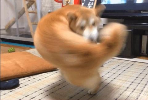 本気を出した柴犬01