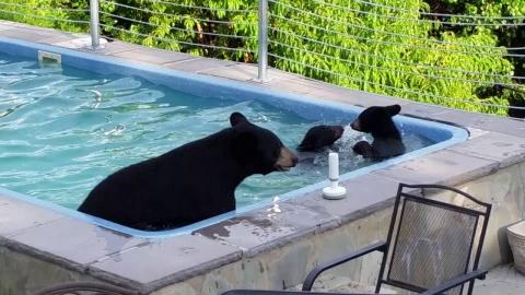 クマの親子がプール01