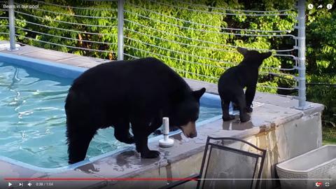 クマの親子がプール03