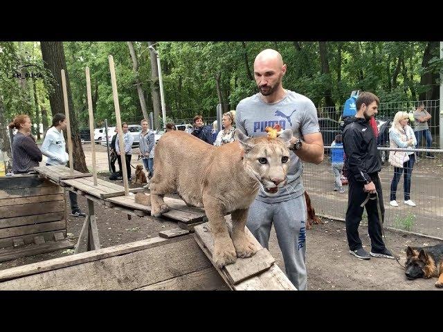 犬っぽい!大きなネコもドッグスクールの訓練を受ける!!