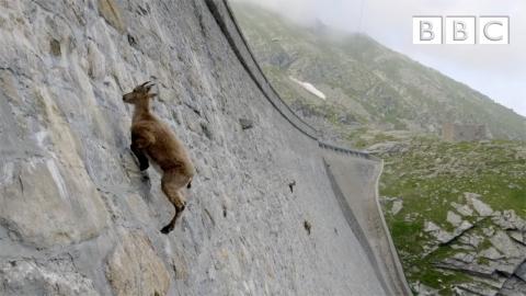 ヤギが壁を登る01