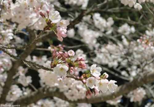 平成最後のお花見7