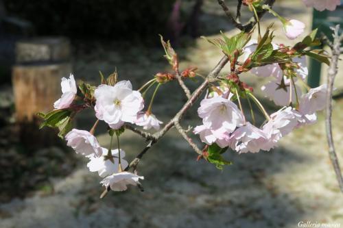 平成最後のお花見5