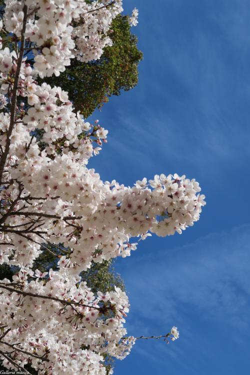 平成最後のお花見4