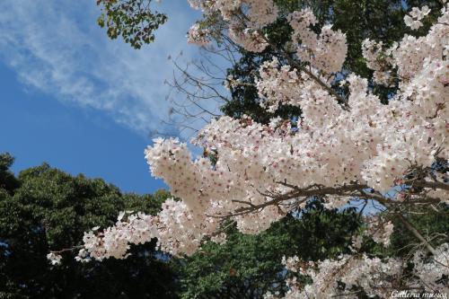 平成最後のお花見3