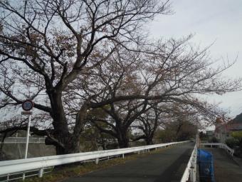 花水川沿い桜181112