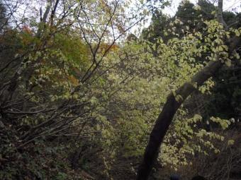 やわらかなクリーム色の葉181202