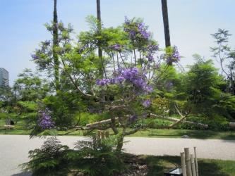 熱海ジャカランダこちらはまだ木が小さい