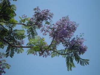 ジャカランダの花拡大して190606