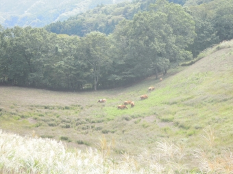 放牧されている牛190929