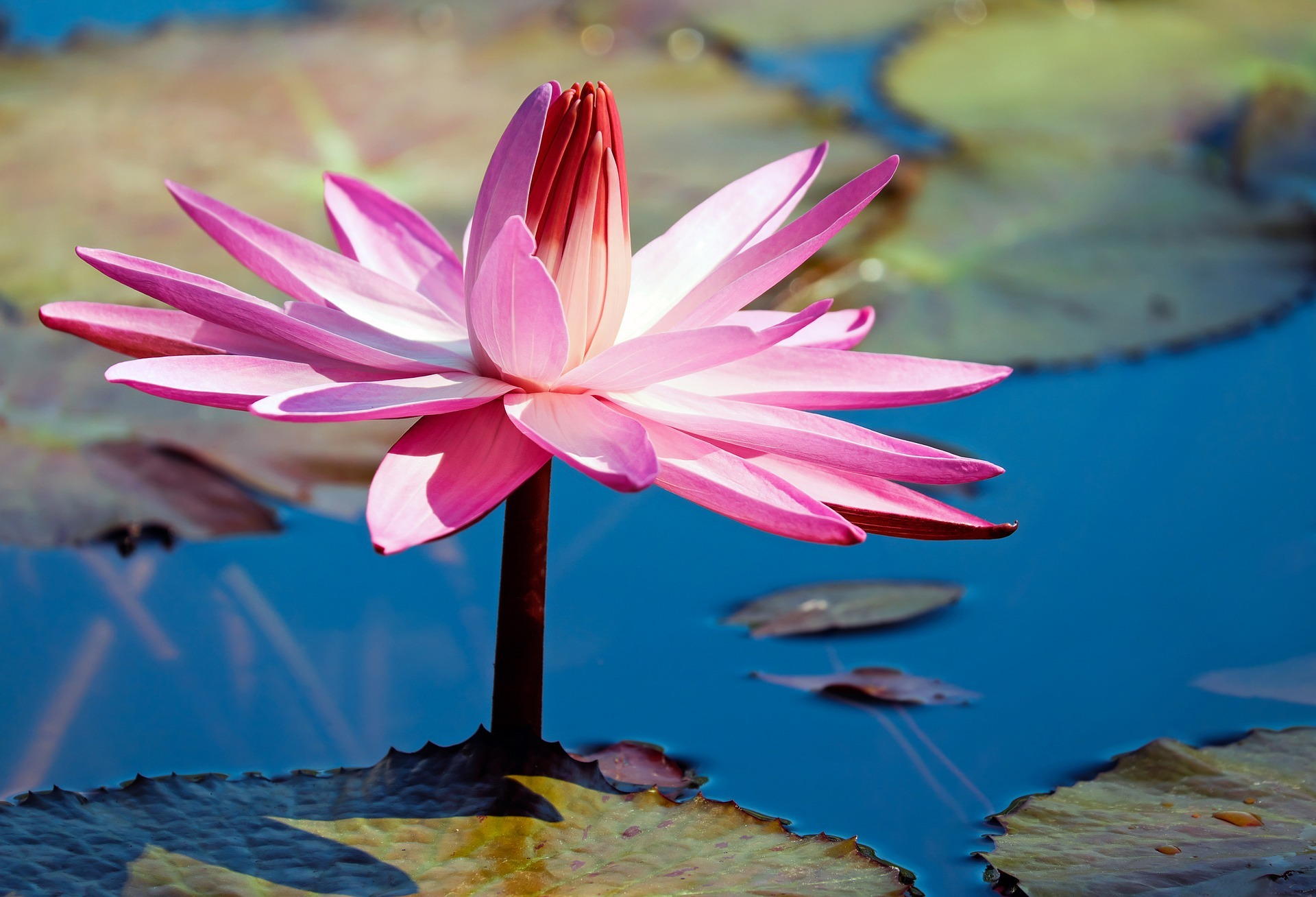 water-lily-3043753_1920.jpg