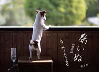 shimainu.jpg