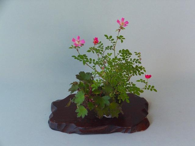 R1-5-22原種バラ