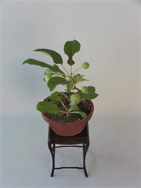 R1-6-25ヒメリンゴ (3)
