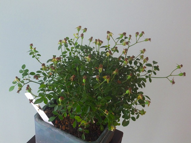 R1-6-30ミヤジマノバラ