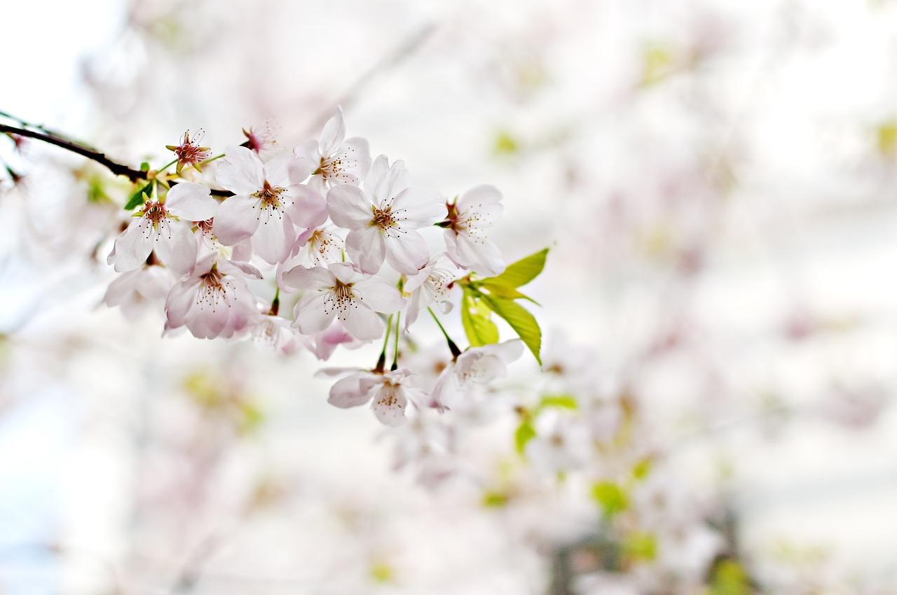 cherry-blossom-1246539_1280.jpg
