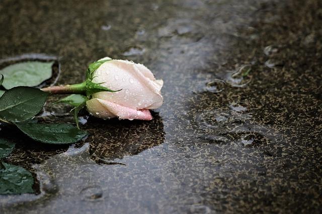 pink-rose-in-rain-4233313_640.jpg