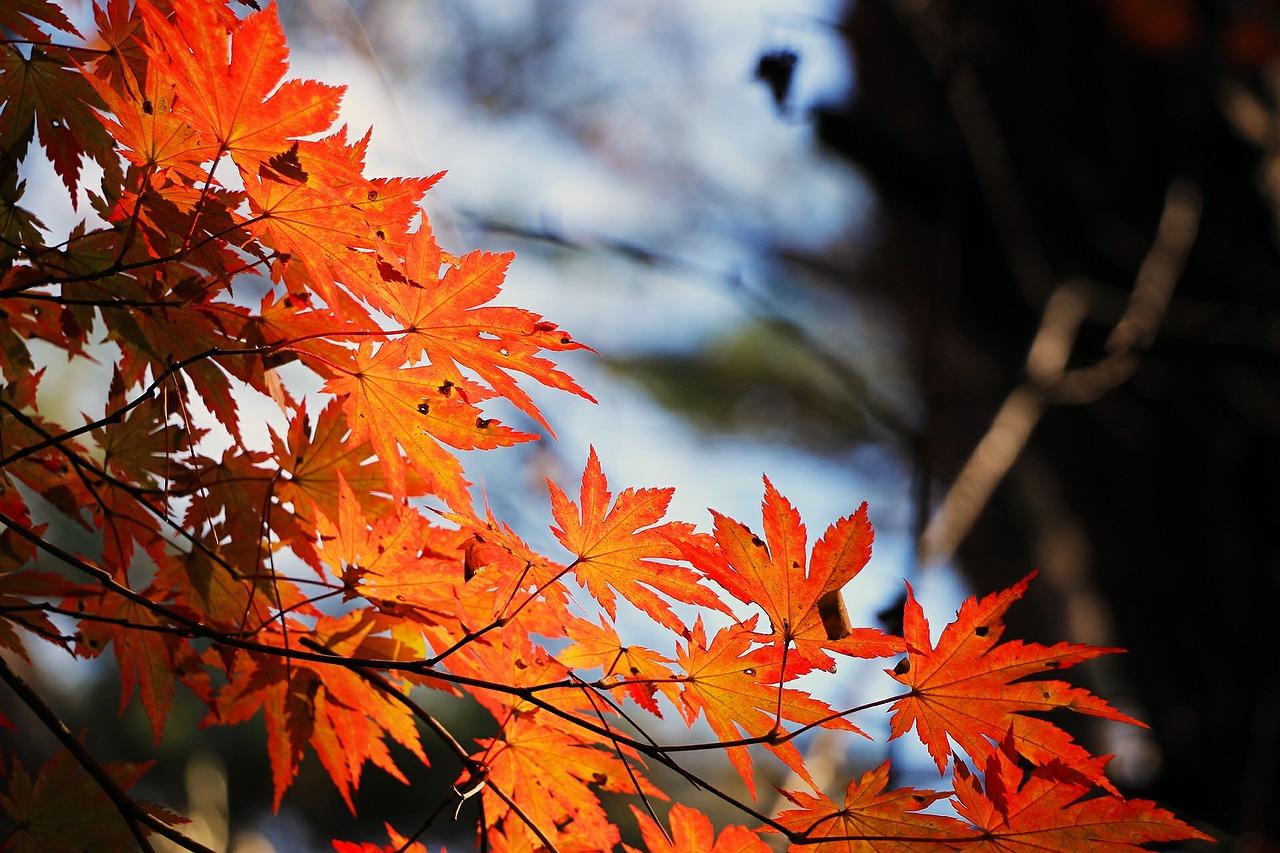 red-maple-leaf-507545_1280.jpg