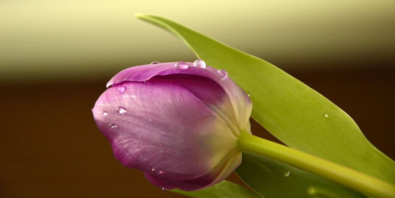 tulip-3996848_1280.jpg