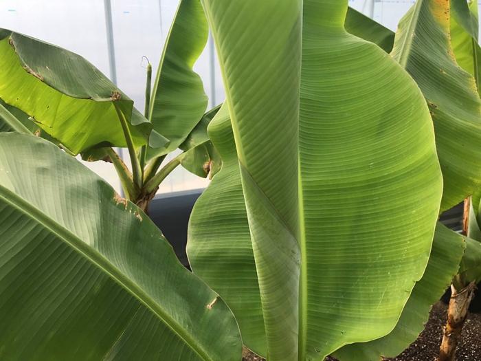 banana161402.jpg