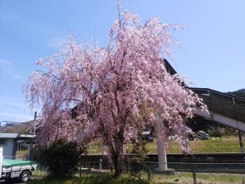 20190416桜
