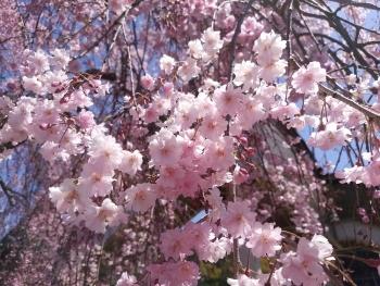 20190416桜2