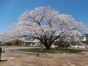 廃校の大桜1
