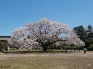 廃校の大桜2