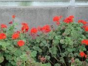 金沢シーサイドラインの下の花 2019/5/3 14:50