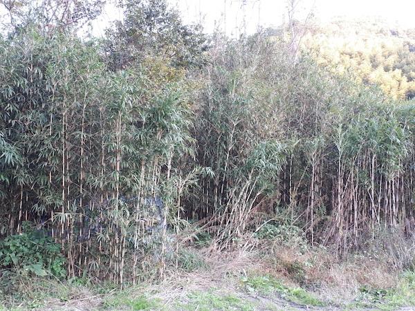 和歌山市のメダケ林