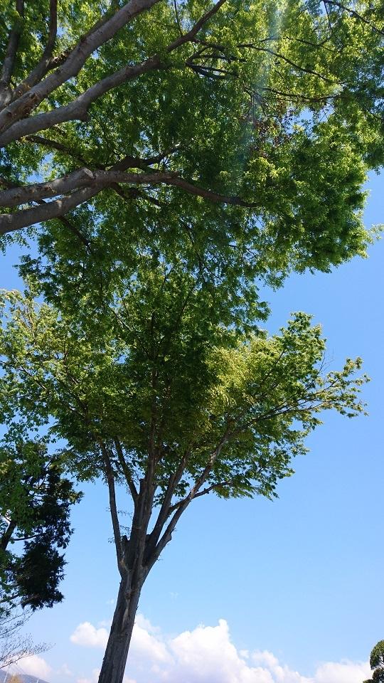 会社の木1