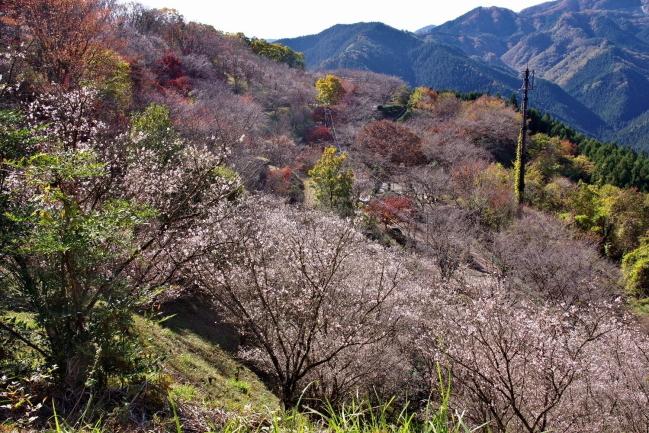 11sakurayama.jpg