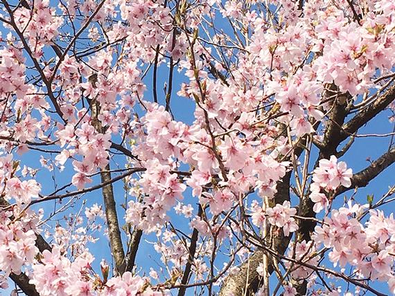 平成最後の桜_1