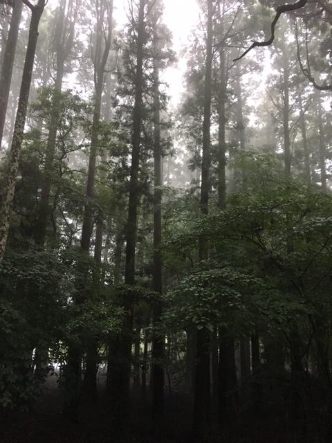 霧島神宮_老杉