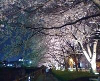 2006_夜桜