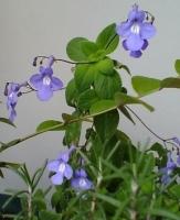 坊ちゃんの花