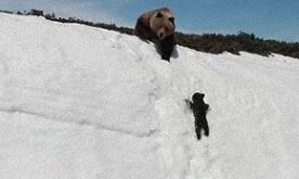 雪の崖を登る熊の母子