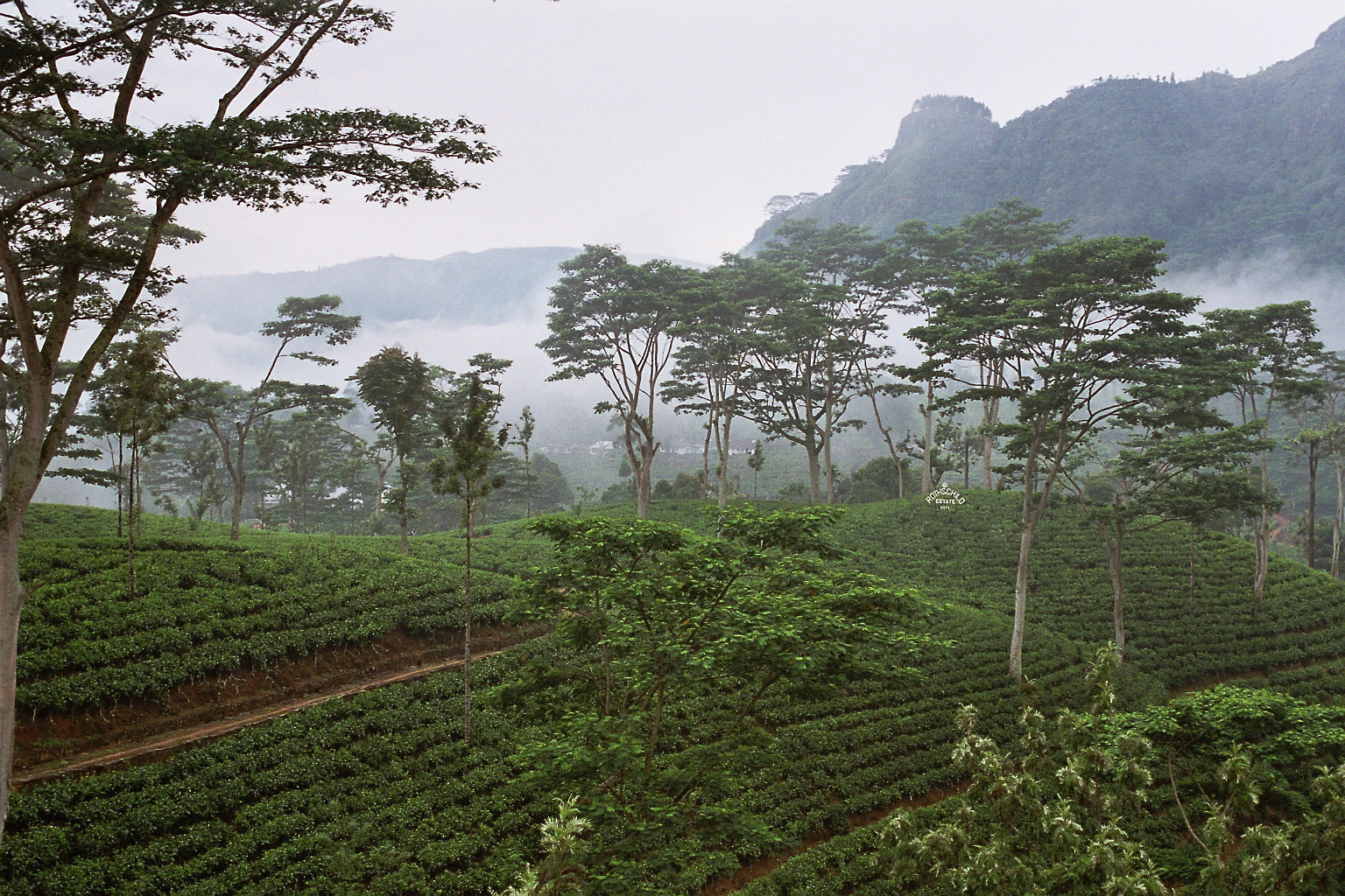 Sri_Lanka-Tea_plantation.jpg