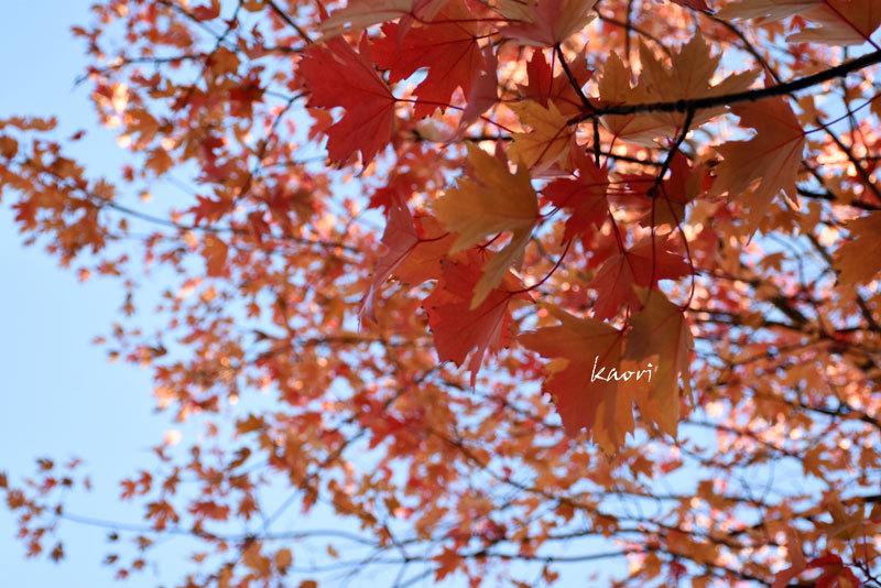 秋のメープル散歩。PART 1。