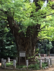 赤坂氷川神社 大銀杏