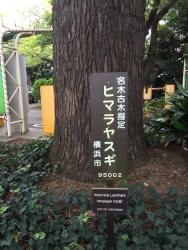 山手公園ヒマラヤスギ1 横浜山手
