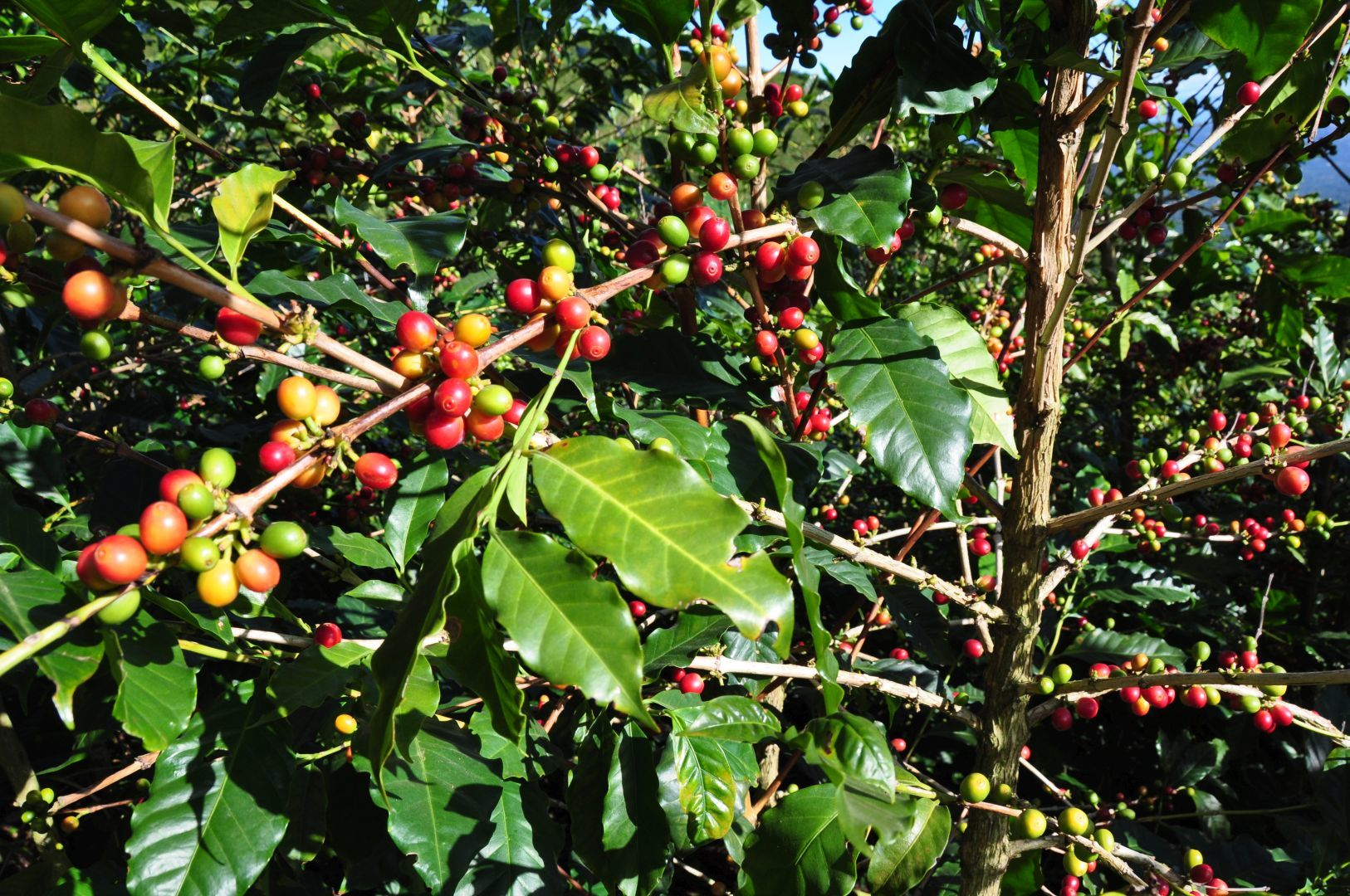 las frutas del café