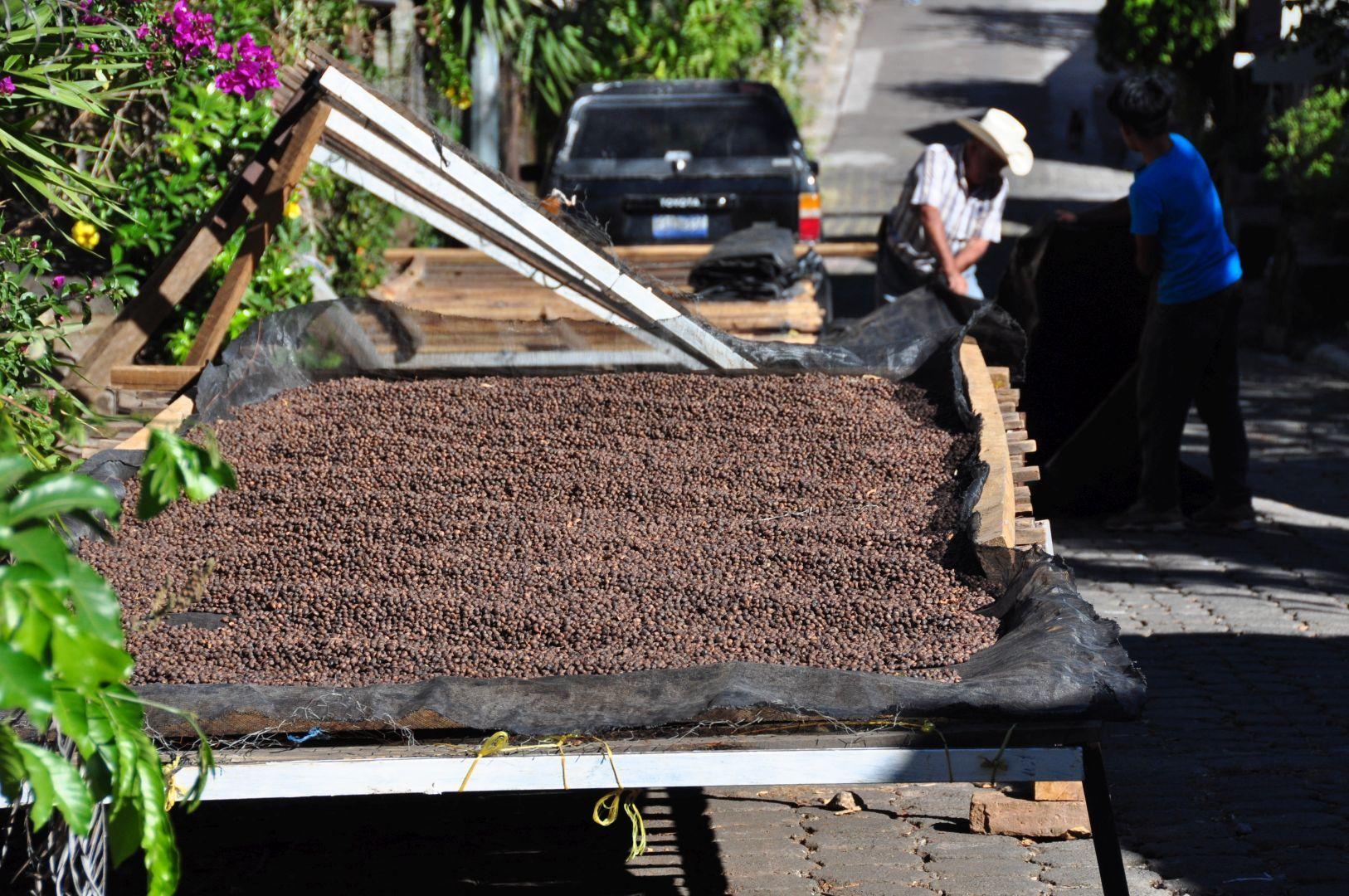 secar las semilla del café